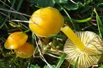 Butter Waxcap (Hygrocybe ceracea)